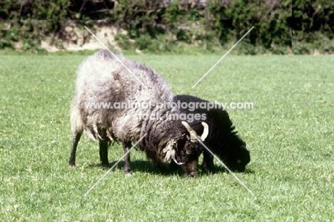 north ronaldsay ewe and lamb grazing