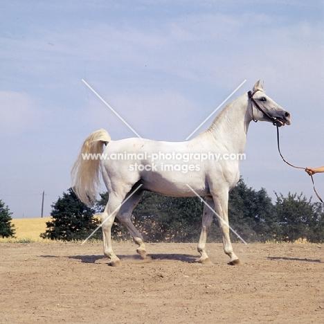 Koheilan I, Shagya Arab stallion