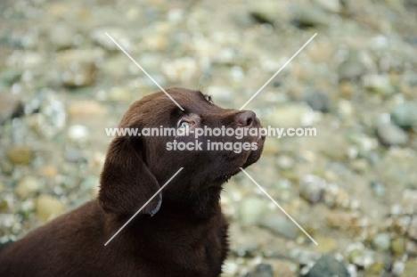 Chocolate Labrador Retriever puppy head shot looking up