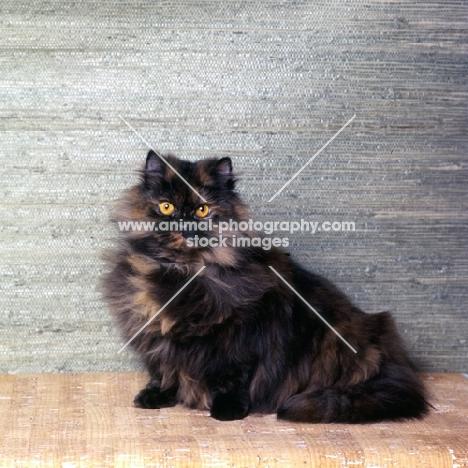 champion bamboo betula, long hair tortoiseshell cat
