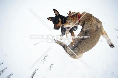 czechoslovakian wolfdog cross and dobermann cross playing fight in the snow