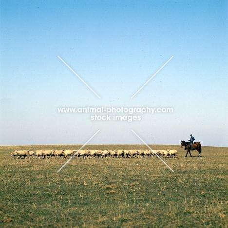 distant view of Hungarian Horse and csikó rounding up sheep on Hortobagyi Puszta