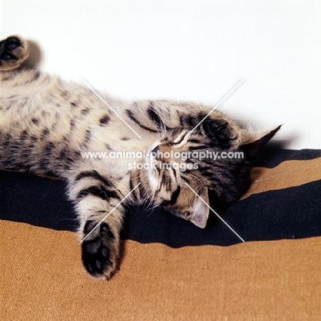 dreaming brown tabby short hair kitten