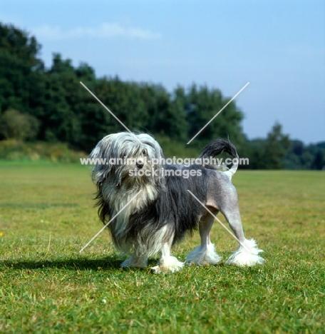 lowchen standing on grass