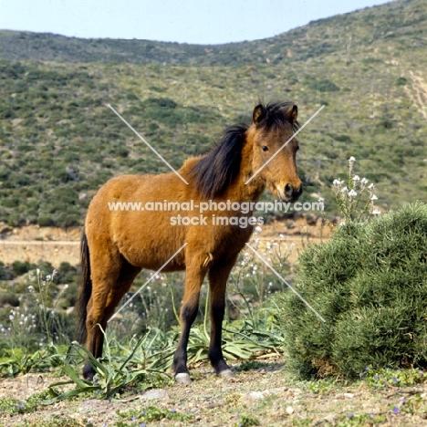skyros pony standing in dry landscape on skyros island