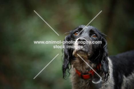 English Springer Spaniel with a sad look