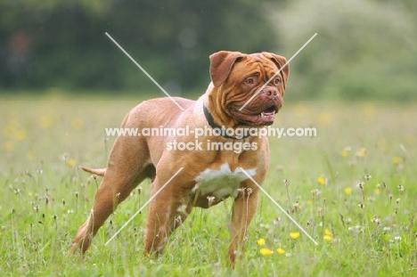 Dogue de Bordeaux standing in field