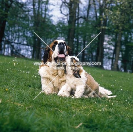 st bernard puppy licking mum