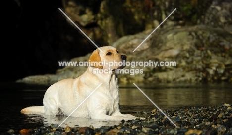 cream Labrador Retriever lying down near water
