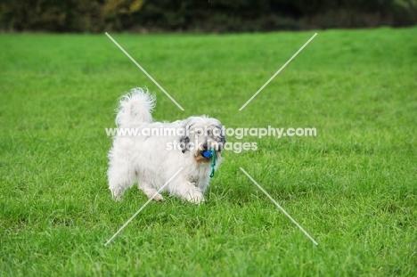 Polish Lowland Sheepdog retrieving toy in field