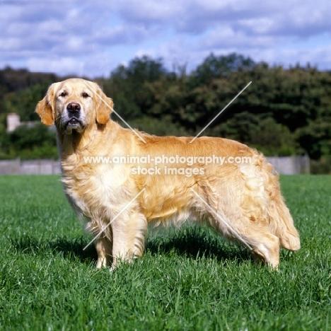 sh ch westley jacob, golden retriever standing on grass