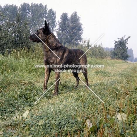 short coated dutch shepherd dog in the countryside