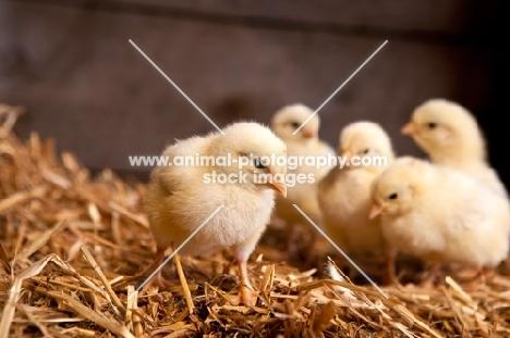 chicks on straw