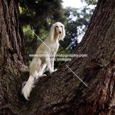 ch burydown iphigenia, saluki sitting in tree looking into camera