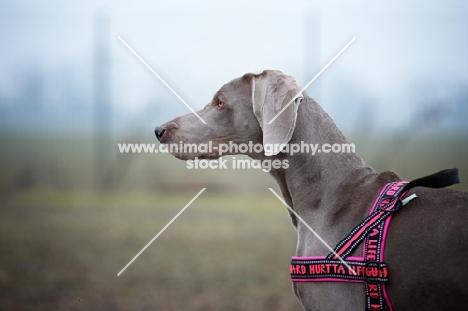 profile portrait of weimaraner wearing harness