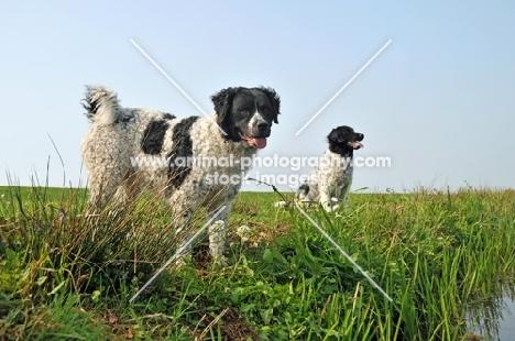two Wetterhound dogs in field