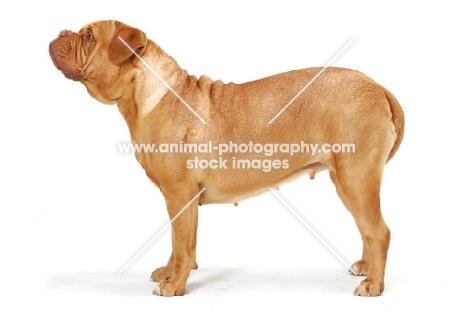 Dogue de Bordeaux posed, looking ahead