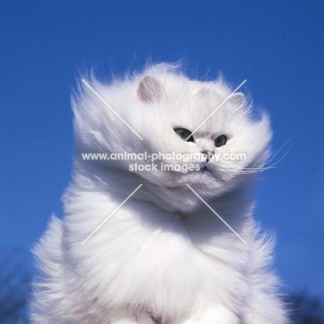 ch bonavia bella maria, chinchilla cat in the wind