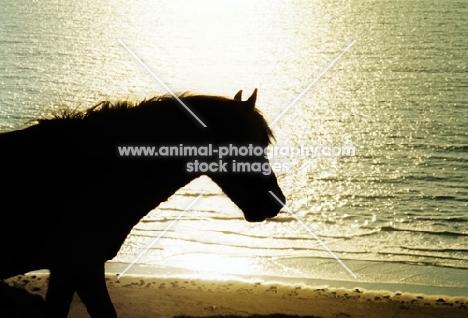 welsh mountain pony on gower peninsula