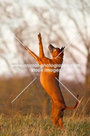 Thailand Ridgeback jumping up