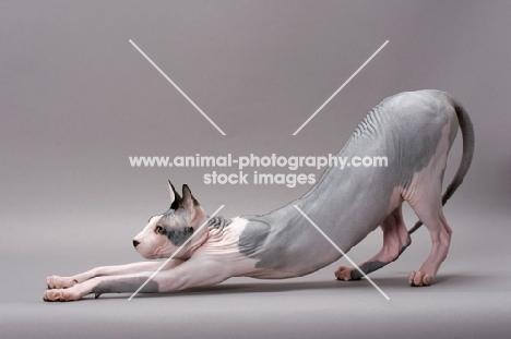 Sphynx cat stretching