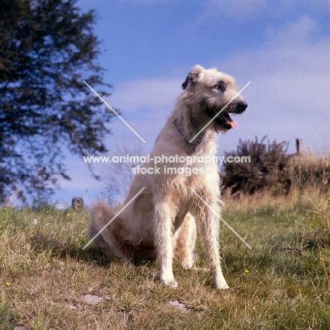 irish wolfhound sitting gainst sky