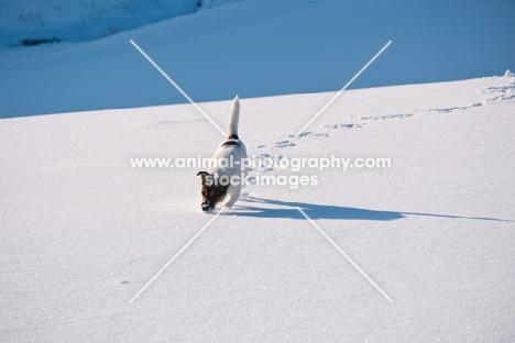 Jack Russell Terrier walking in snowy field