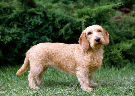 17 Basset Fauve De Bretagne Ideas Puppies Dogs Basset
