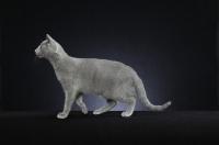Picture of 10 week old Russian Blue kitten, side view