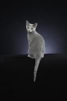Picture of 10 week old Russian Blue kitten, looking back
