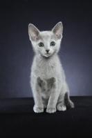 Picture of 10 week old Russian Blue kitten