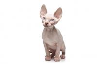 Picture of 10 week old Sphynx kitten