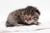 Picture of 2 week old Asian Leopard kitten asleep