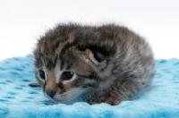 Picture of 2 week old Asian Leopard kitten on blanket