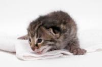 Picture of 2 week old Asian Leopard kitten