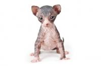 Picture of 3 week old Sphynx kitten