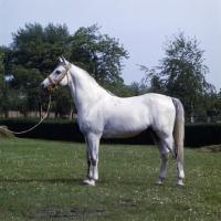 Picture of 5854 Shagya XXXV1, Shagya Arab stallion full body
