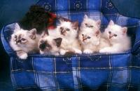 Picture of 6 Birman kittens