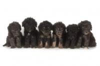 Picture of 6 black Bedlington Terrier puppies
