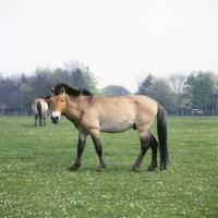 Prževalski hobune AP-0Q23TJ-TH
