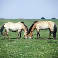 Prževalski hobune AP-1CI1HX-TH