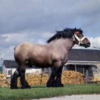 Picture of  Avenir de Latour, Ardennais stallion