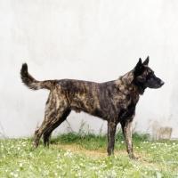 Picture of  doerak van de vaskenow, dutch shepherd dog standing on grass by a wall