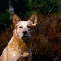 Picture of  formakin brolga ahead shoulder shot of australian cattle dog