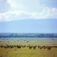Picture of  herd of uganda kob, queen elizabeth np