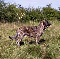 Picture of  jaro de monte jaena, spanish mastiff standing in grass