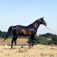 Picture of  'O' Bajan I, Shagya Arab full body