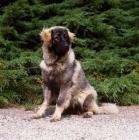 Picture of  sarplaninac, yugoslavian sheepdog, sitting down