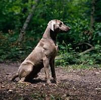 Picture of  weimaraner sitting in woods