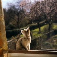 Picture of abyssinian kitten in window